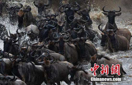 肯尼亚百万角马大迁徙 场面蔚为壮观