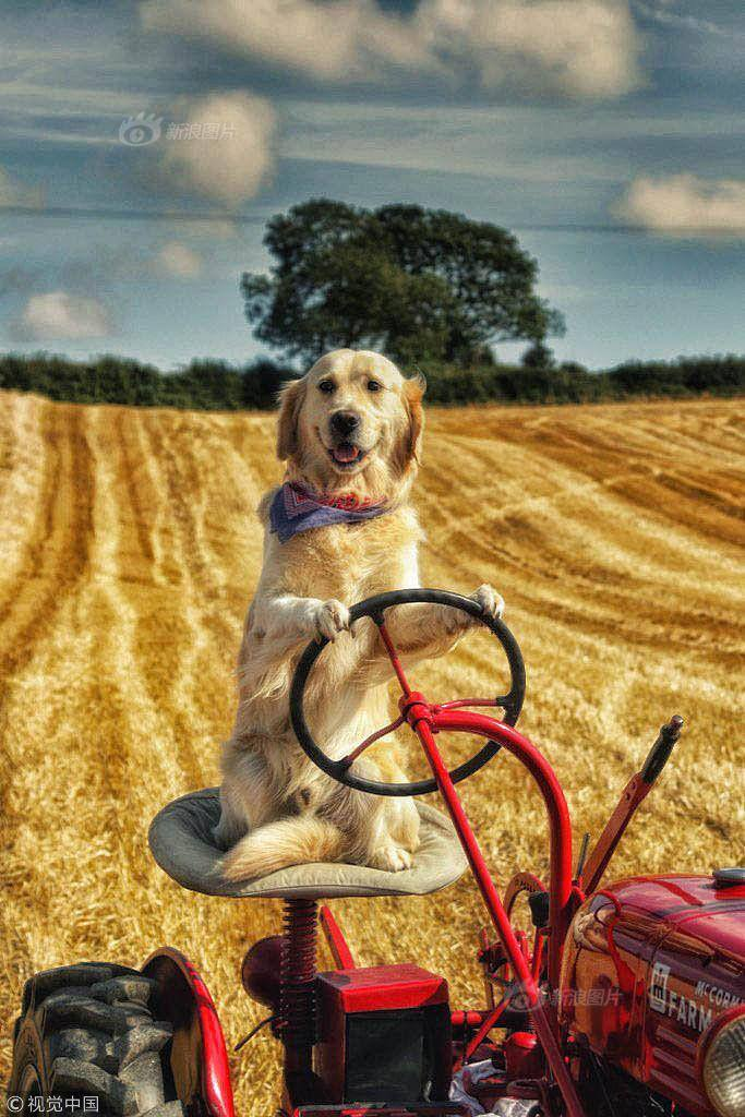 金毛犬技能惊人 开拖拉机帮主人干农活