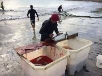 澳洲三文鱼泛滥没人吃 渔民贱卖做饵料