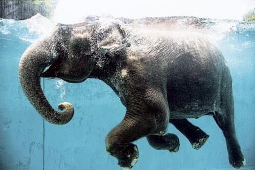 全景展示!日本大象水中畅游嬉戏悠然消夏(图)