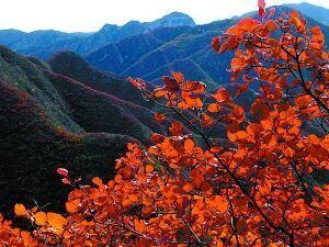 北京郊区40万亩彩叶变色 渐入红叶最佳观赏期