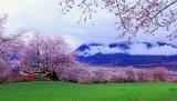 西藏林芝7所A级景区桃花节期间免费开放