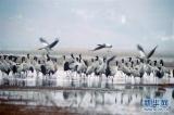 10万余只候鸟在贵州草海度过冬天陆续北迁