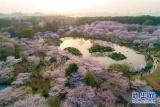 武汉:樱花缤纷醉游人