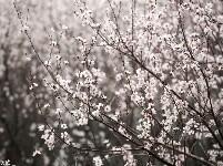 西安300亩网红桃花盛开 游客络绎不绝
