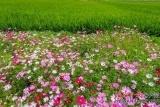 博鳌国家农业公园繁花盛开 水稻郁郁葱葱