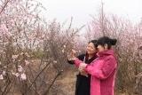 杏花节迎来八方赏花客