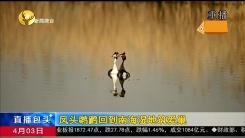 凤头鸊鷉回到南海湿地筑爱巢