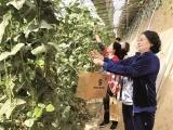 大棚蔬菜水果吸引市民采摘