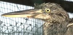 多只猛禽、水鸟在野生动植物保护中心疗养