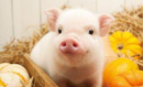 猪价整体平稳 南北差异明显