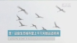 大奖娱乐官方网站_美!这座生态城市里上千只天鹅远道而来
