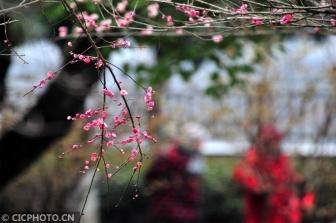 红梅花开迎春来
