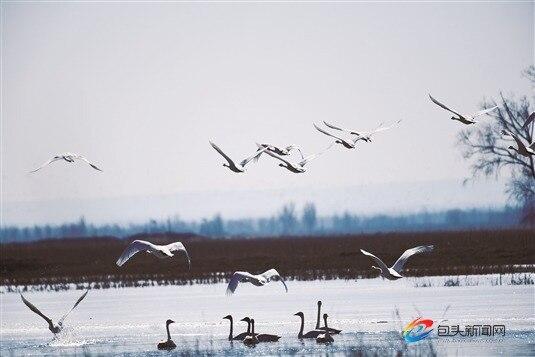 候鳥飛抵黃河濕地