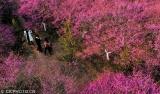梅花绽放映春景