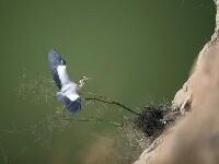 崖壁上的苍鹭