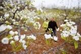 梨花满山飘香雪