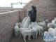 """草原深處的云課堂:他們和牛羊一起""""讀大學"""""""