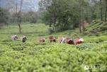 """首個""""國際茶日"""":看云南的大好茶山"""