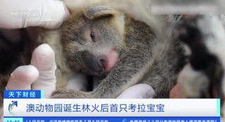 澳動物園(yuan)誕(dan)生林火後首只考拉(la)寶寶
