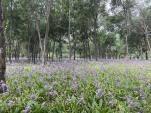 紫花玉簪现玲珑