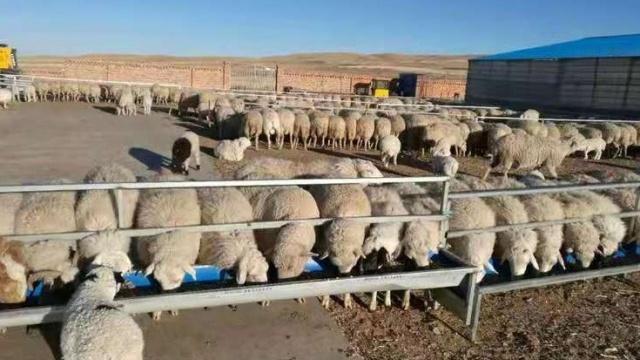 """包头市达茂旗:""""脱贫羊""""成""""致富羊"""""""